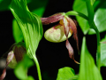 cypripedium-x-ingrid-jpg